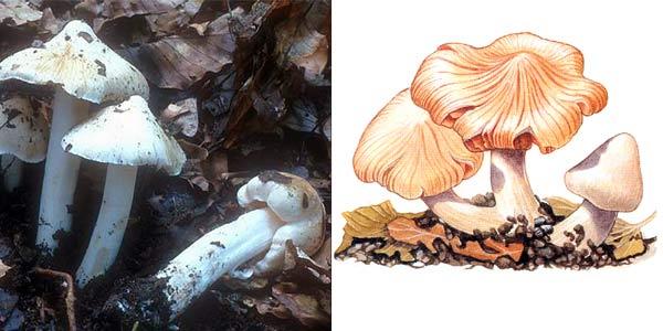 Волоконница Патуйяра, или волоконница краснеющая - Inocybe patouillardii Bres.