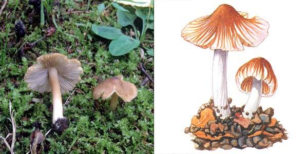 Волоконница волокнистая, или волоконница трещиноватая - Inocybe fastigiata (Fr.) Quel.