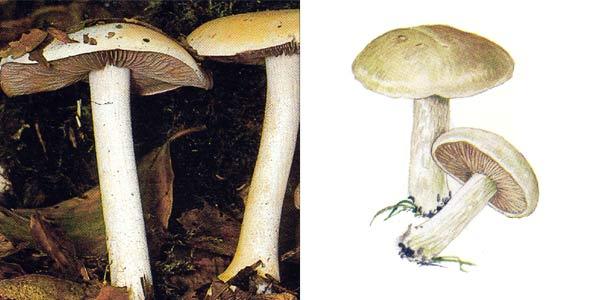 Ложный валуй, или гебелома клейкая, или гебелома плачущая, или хреновый гриб - Hebeloma crustiniformes (St. Amans) Quel.