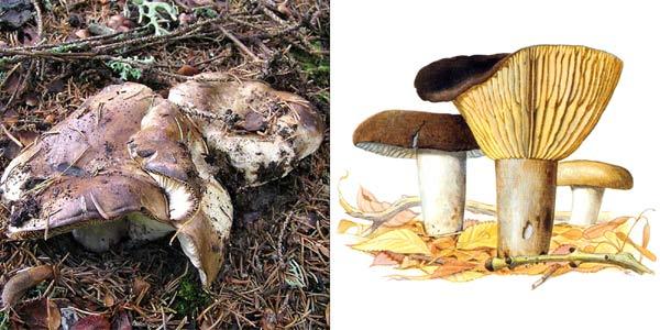 Подгруздок черный, или чернушка, или сыроежка черная - Russula adusta (Fr.) Fr.