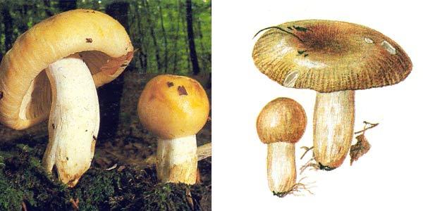 Валуй, или сопливик, или бычок, или кулачок - Russula foetens (Fr.) Fr.
