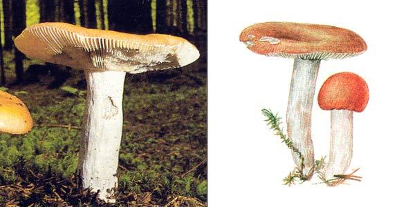 Сыроежка сереющая, или сыроежка выцветающая - Russula decolorans (Fr.) Fr.