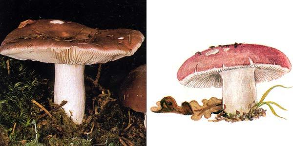 Сыроежка пищевая, или сыроежка съедобная - Russula vesca Fr.