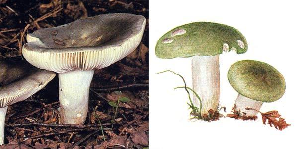 Сыроежка зеленая, или сыроежка бледно-зеленая, или сыроежка синевато-зеленая - Russula aeruginea Lindbl. Ex. Fr.
