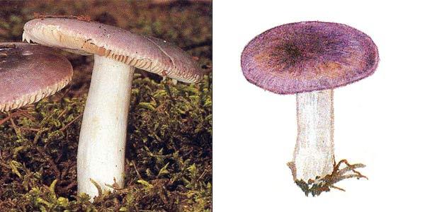 Сыроежка синяя, или сыроежка лазуревая - Russula azurea Bres.