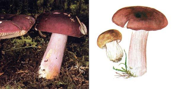 Сыроежка буреющая, или сыроежка ароматная - Russula хerampelina fr.