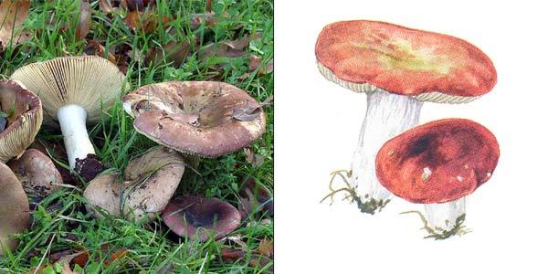 Сыроежка зелено-красная, или сыроежка лайковая - Russula alutacea Fr. Em. Melz, et. Zvara.