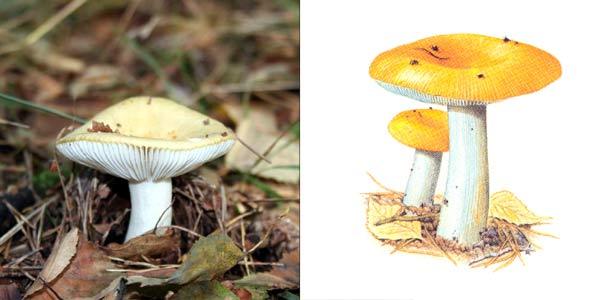 Сыроежка золотисто-желтая, или сыроежка красно-желтая - Russula lutea Fr.