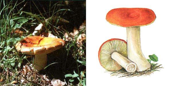 Сыроежка золотисто-красная, или сыроежка золотистая - Russula aurata Fr.