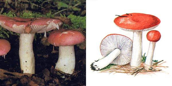Сыроежка жгучеедкая, или сыроежка едкая, или сыроежка рвотная - Russula emetica Fr.