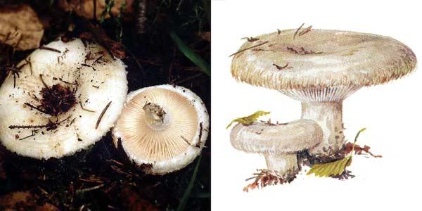 Груздь настоящий, или груздь белый, или груздь сырой - Lactarius resimus (Fr.) Fr.