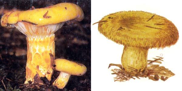 Груздь желтый - Lactarius scrobiculatus (Fr.) Fr.