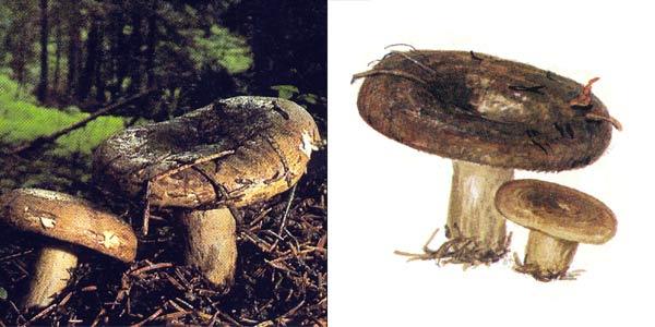 Груздь черный, или груздь оливково-черный, или чернушка, или черныш, или дуплянка черная, или цыган - Lactarius necator (Fr.) Karst.