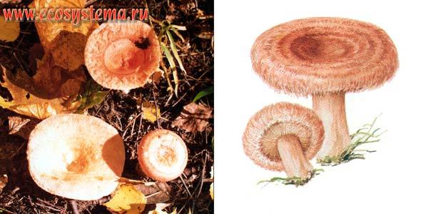 Волнушка розовая, или волжанка, или волнянка - Lactarius torminosus (Fr.) S.F.Gray.