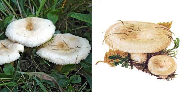 Волнушка белая, или белянка, или белянка пушистая - Lactarius pubescens (Krombh.) Fr.