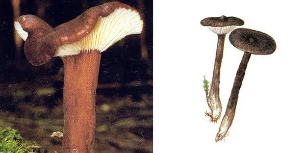 Млечник бурый, или млечник древесинный - Lactarius lignyotus Fr.