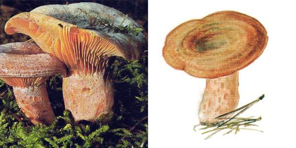 Рыжик настоящий, или рыжик - Lactarius deliciosus (Fr.) S.F. Gray