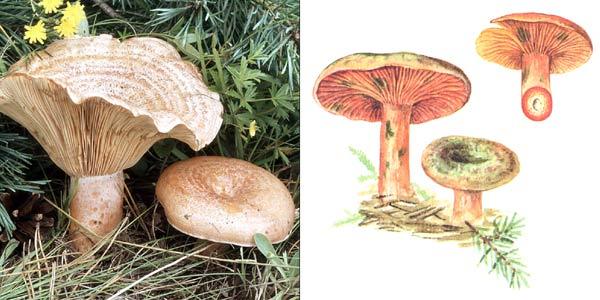 Рыжик еловый - Lactarius deliciosus var. picei, или Lactarius deterrimus