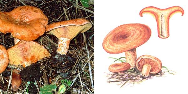 Рыжик сосновый, или рыжик боровой - Lactarius deliciosus var. pini, или Lactarius pinocola