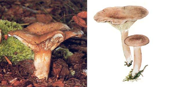 Млечник блеклый, или млечник вялый, или волнушка болотная - Lactarius vietus (Fr.) Fr.