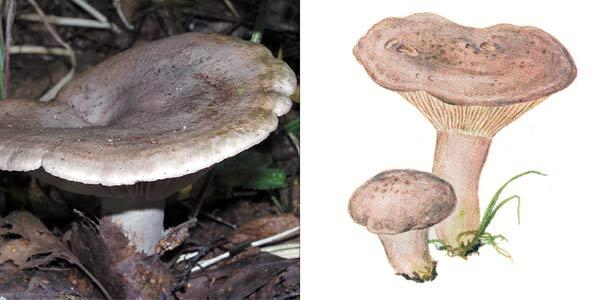 Серушка, или груздь серо-лиловатый, или млечник серый, или серянка, или дуплянка серая, или подорешница, или подорожница - Lactarius flexuosus (Fr.) S.F.Gray.