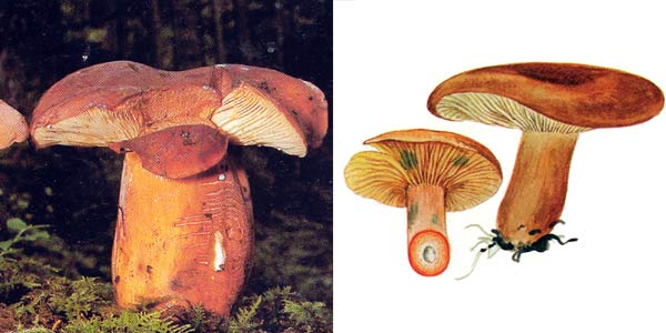 Молочай, или подмолочник, или груздь красно-коричневый, или подорешник - Lactarius volemus (Fr.) Fr.