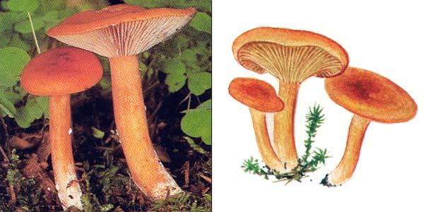 Млечник неедкий, или млечник оранжевый - Lactarius mitissimus (Fr.) Fr.