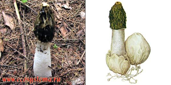 Веселка обыкновенная, или сморчок вонючий, или сморчок подагрический - Phallus impudicus Pers.