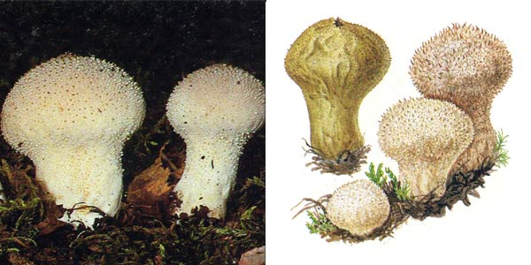Дождевик настоящий, или дождевик шиповатый, или дождевик жемчужный, или дождевик съедобный - Lycoperdon perlatum Pers., или Lycoperdon gemmatum Batsch.