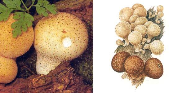 Дождевик грушевидный - Lycoperdon pyriforme Pers.