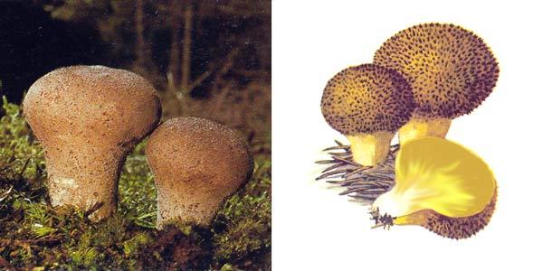 Дождевик умбровый - Lycoperdon umbrinum Pers.