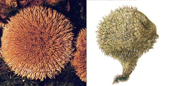 Дождевик ежевидный, или дождевик ежевидноколючий, или дождевик шипастый, или дождевик игольчатый - Lycoperdon echinatum Pers.
