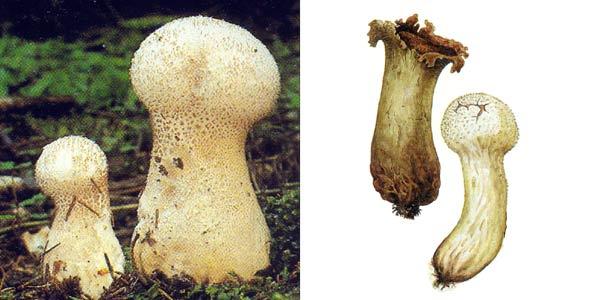 Головач продолговатый - Calvatia excipuliformis (Pers.) Perd.