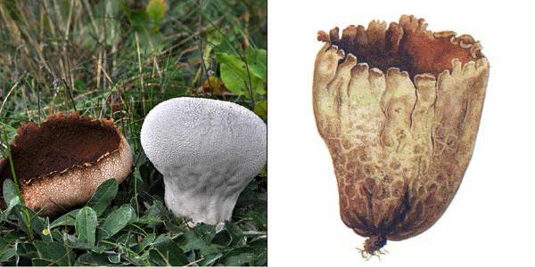 Головач мешковатый, или головач мешковидный, или головач пузыревидный, или головач круглый - Calvatia utriformis (Pers.) O. Jaab.