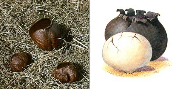 Порховка чернеющая - Bovista nigrescens Pers.
