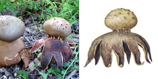 Мириостома шейковидная - Myriostoma coliforme (Pers.) Corda