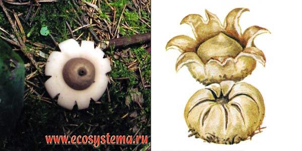 Геаструм бахромчатый, или звездовик бахромчатый, или звездовик сидячий - Geastrum fimbriatum Fr.