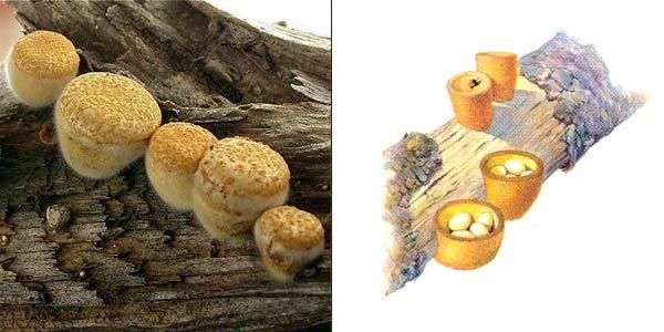 Бокальчик гладкий, или круцибулюм гладкий - Crucibulum laeve (P.C.) Kambly.