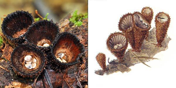 Бокальчик полосатый, или гнездовка полосатая - Cyathus striatus Pers.