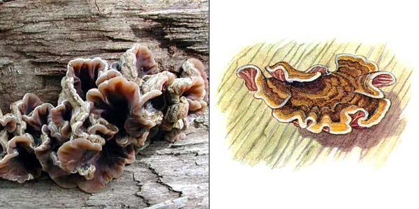 Аурикулярия извилистая, или аурикулярия пленчатая - Auricularia mesenterica (Dicks.) Pers.