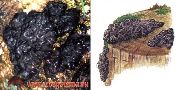Эксидия железистая - Exidia glandulosa Fr., или Exidia plana