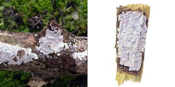 Эксидиопсис известковый - Exidiopsis calcea