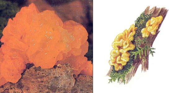 Дрожалка оранжевая, или дрожалка пленчатая - Tremella mesenterica Retz.