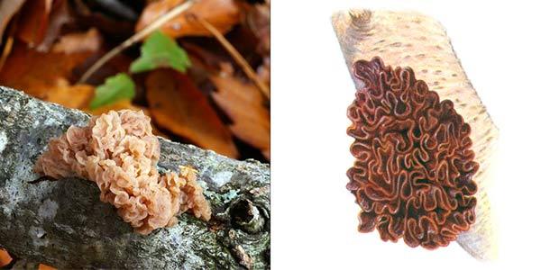 Дрожалка листоватая - Tremella foliacea Fr.