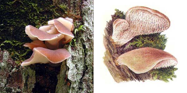 Тремеллодон студенистый, или ложноежевик студенистый, или псевдогиднум студенистый, или ледяной гриб - Tremellodon gelatinosum Fr., или Pseudohydnum gelatinosum