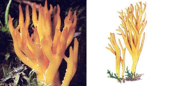 Калоцера клейкая - Calocera viscosa Fr.