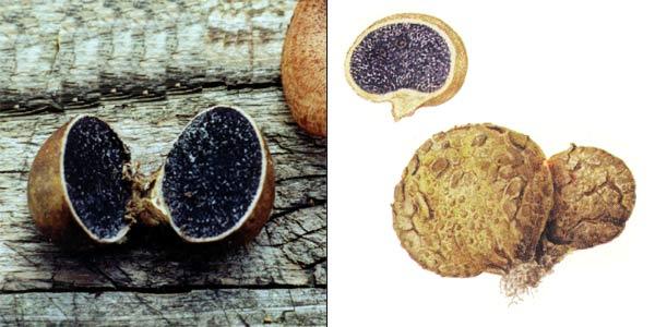Ложнодождевик обыкновенный – Scleroderma aurantium Pers.