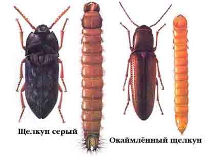 Щелкуны (Elateridae) и их личинки — проволочники