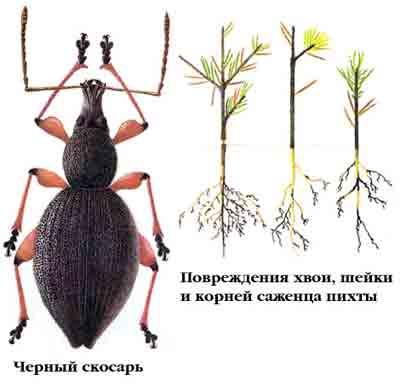 Скосарь малый черный — Otiorrhynchus ovatus (L.)