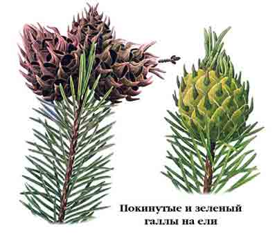 Хермес елово-лиcтвенничный — Adelges laricis Vall. и Хермес поздний — Adelges tardus Dreyf.